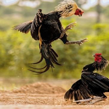 Panduan Untuk Bermain Sabung Ayam Online